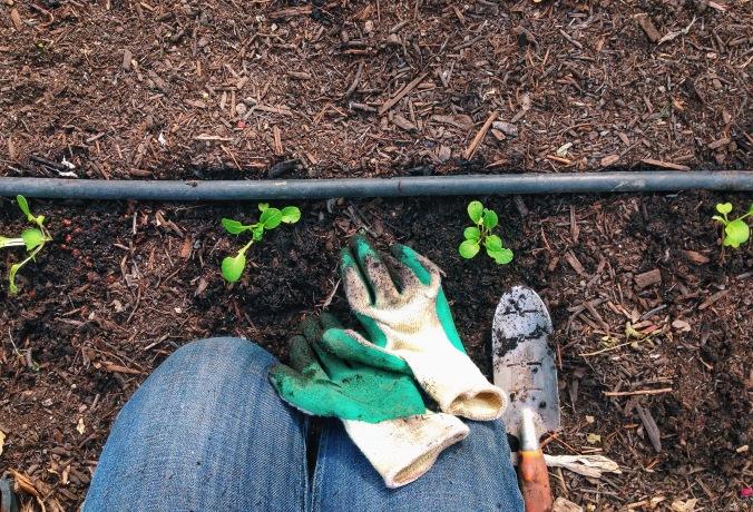 planting bok choy